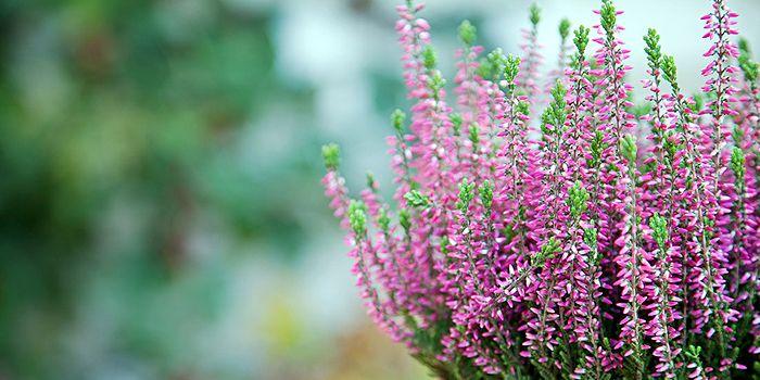 Fresh Heide als Winterbepflanzung