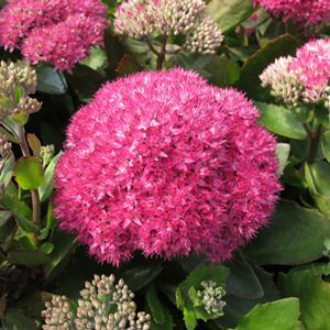 Buy Sedum Birthday Party Perennial Plants Online Garden Crossings