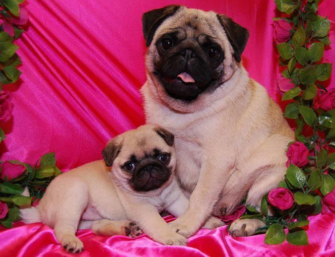 Pin by Andrew Sharp on PUG HUGS & HUG PUGS