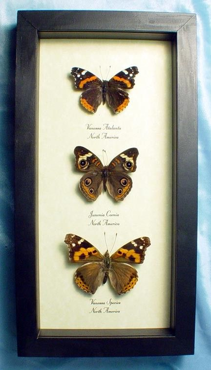 North American Trio Real Butterfly Set 6290 by REALBUTTERFLYGIFTS