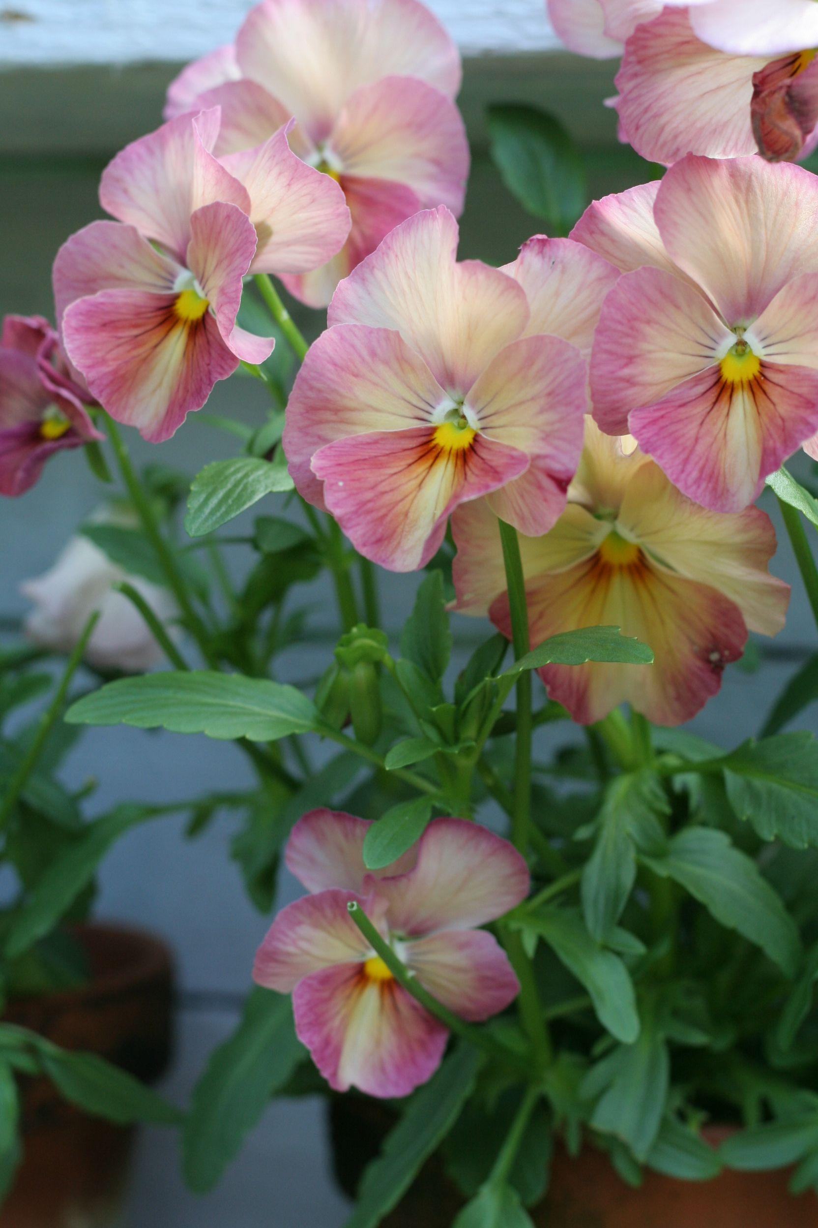 Pansy Pink Pansies Violas Gods Perfect Flowers Pinterest