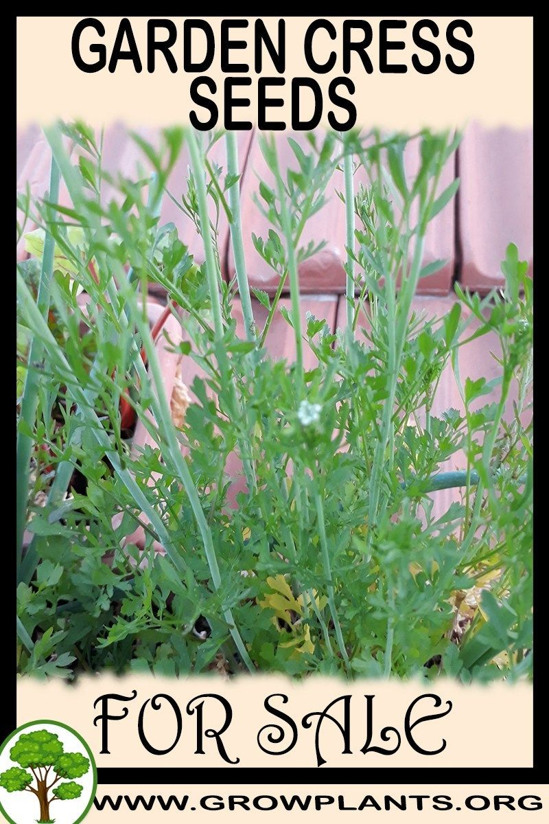 Garden Cress Seeds For Sale Plants Seeds For Sale Easy Plants