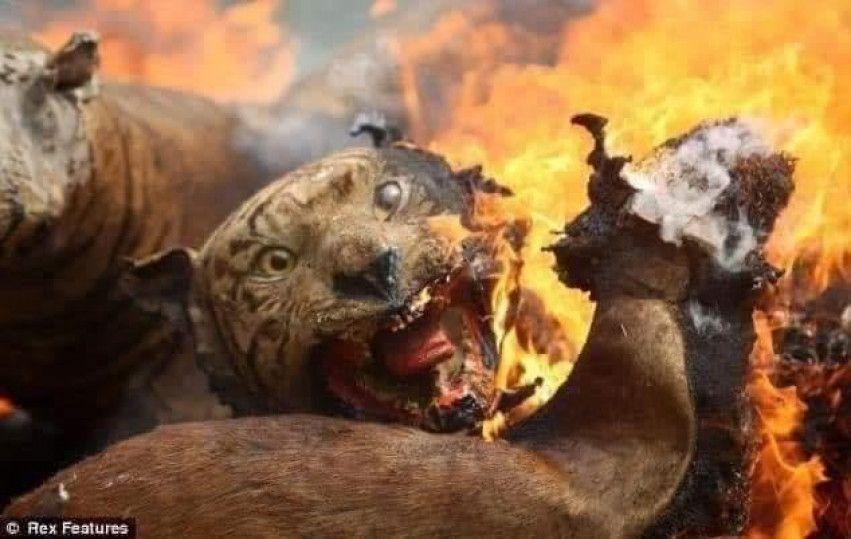 Australia Bushfires Tiger Animal Burnt Fire Real Photo Fire