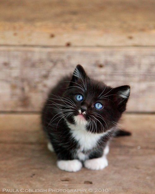 Cute Cat With Bright Blue Eyes It Looks Like My Cat Sox I Used To Have Only The Black Is White Kittens Cutest Baby Animals Pets