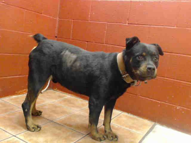 Rottweiler dog for Adoption in Downey, CA  ADN-488110 on