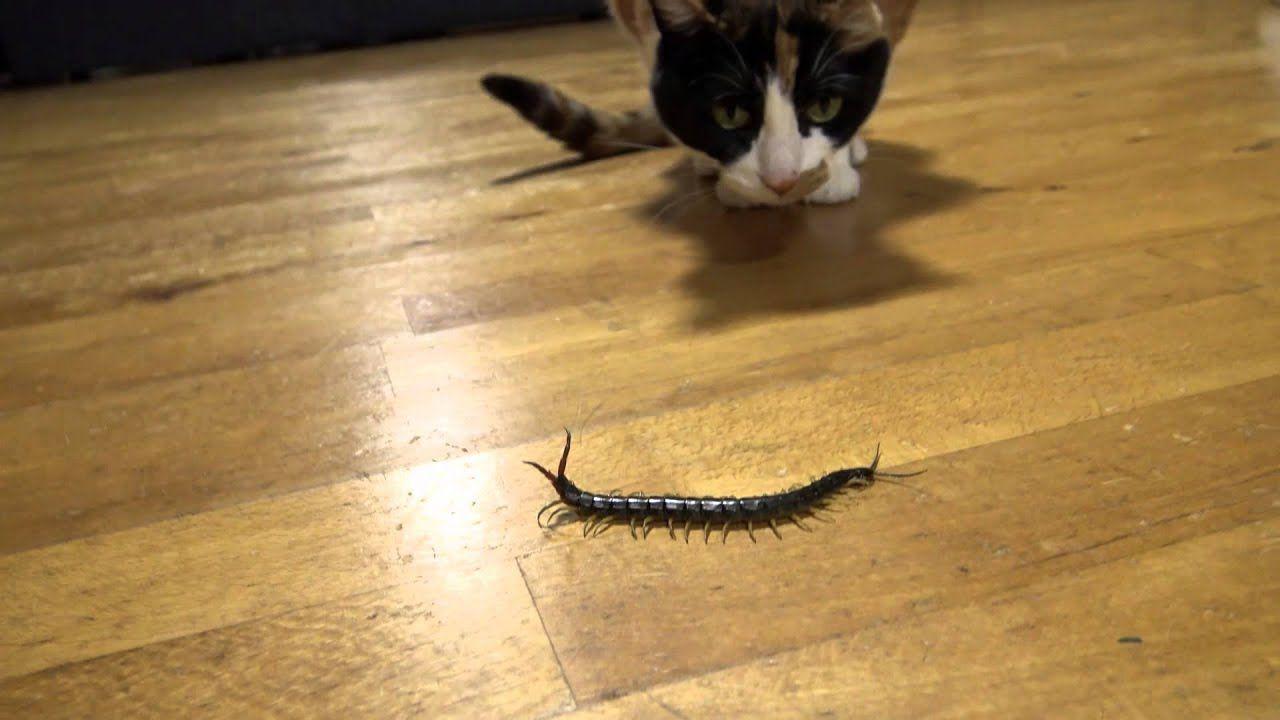 大きなムカデで遊ぶハナちゃん Centipede Hana Chan