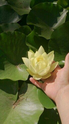 Flor de loto en mis manos.... Me encanta