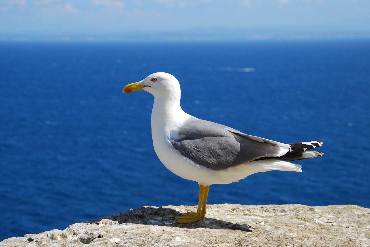 Free image on pixabay seagull sea bird seevogel
