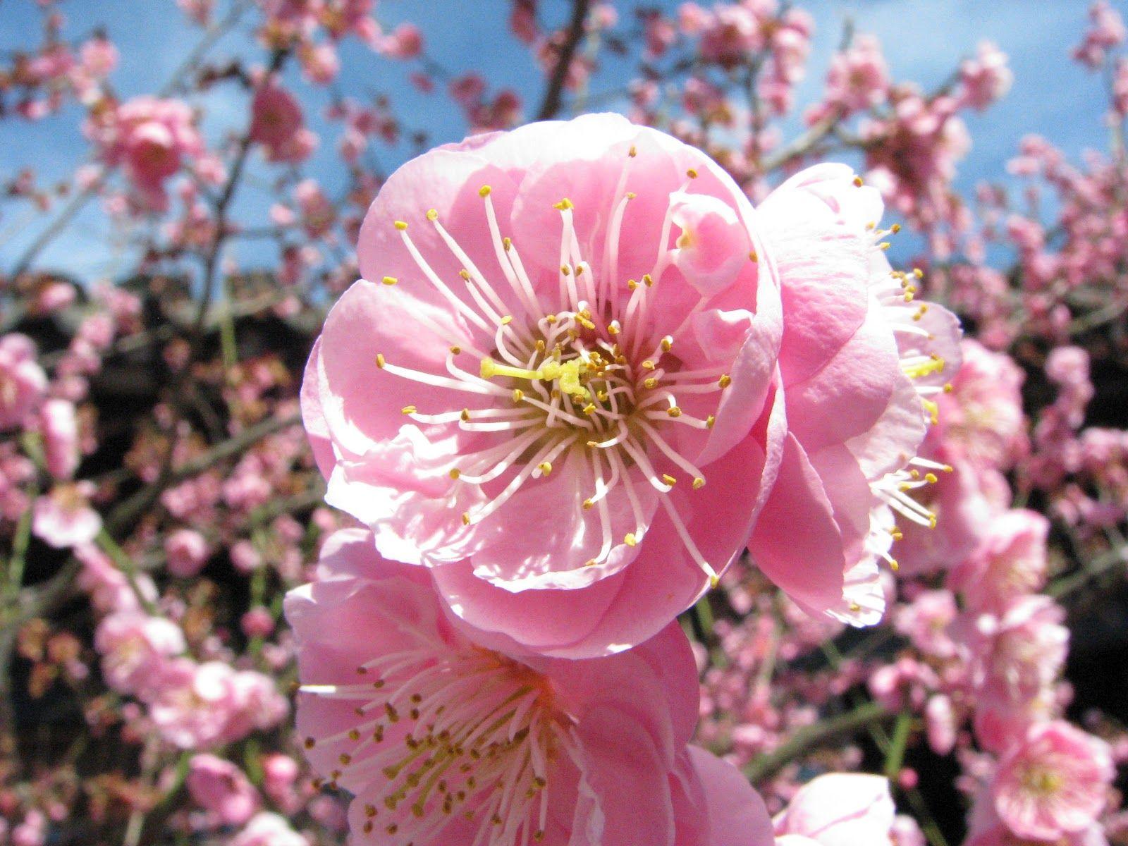 China National Flower Name Googleda Ara Ekler Pinterest