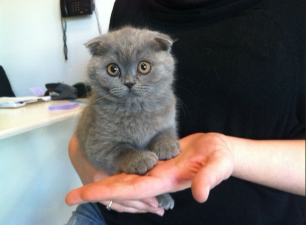 Cute Scottish Fold Kitten Munchkin Kitten Scottish Fold Kittens