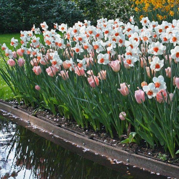 Tulpe 'Apricot Beauty' und die Narzisse 'Cool Flame' - beide als Blumenzwiebeln erhältlich bei www.fluwel.de