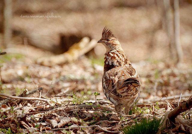 Ruffed Grouse on top of Cheat Mountain, West Virginia.  Photo be Denise Powers Fabian