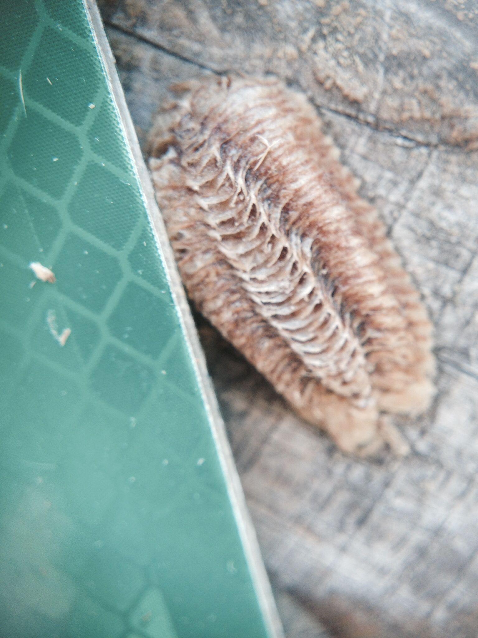 Praying mantis egg pod CLOSEUP Creatures! Pinterest