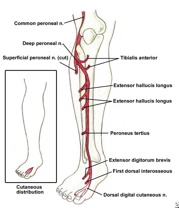 nervus peroneus profundus - Yahoo Image Search Results | arterie ...
