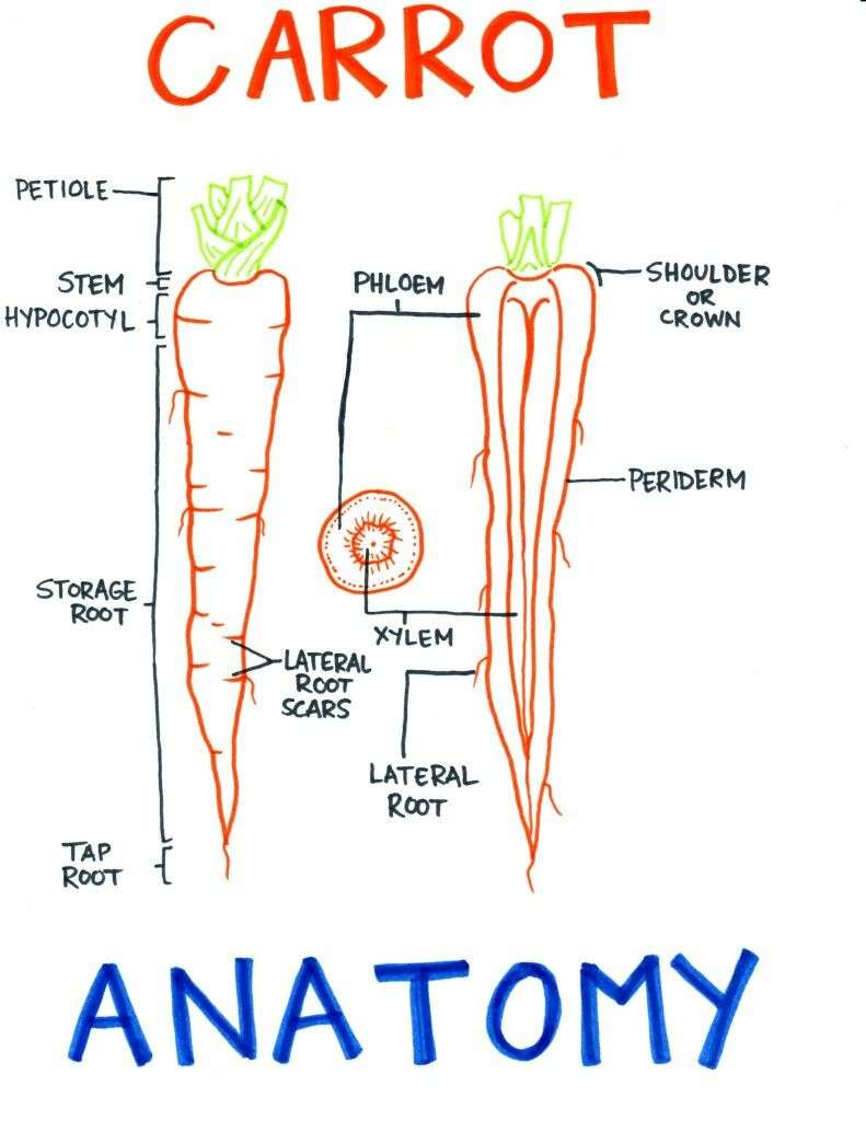 Diagram of xylem and phloem carrot complete wiring diagrams root of carrot root stem leaf pinterest carrots and ap biology rh pinterest com label xylem and phloem leaf maple xylem and phloem tissue ccuart Image collections