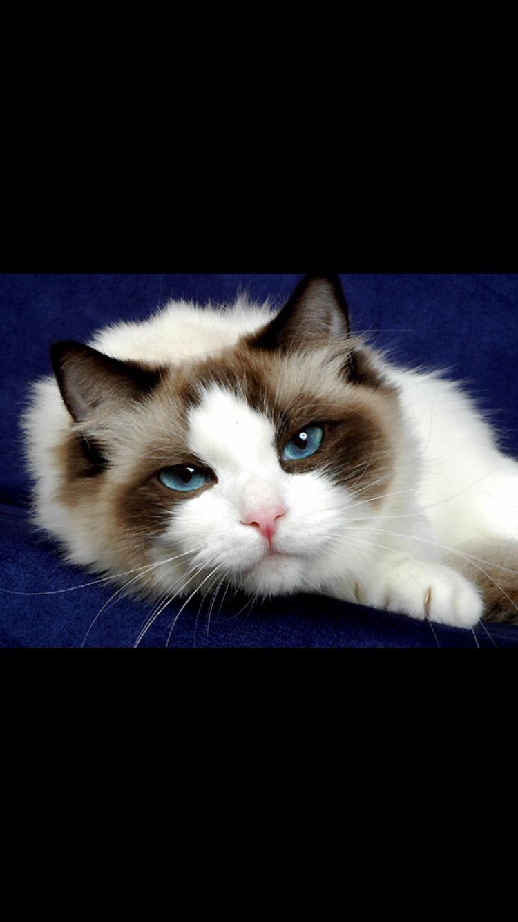 Seal Bi Color Ragdoll Cat Ragdoll Cat Breeders Cute Cats And Kittens Ragdoll Cat