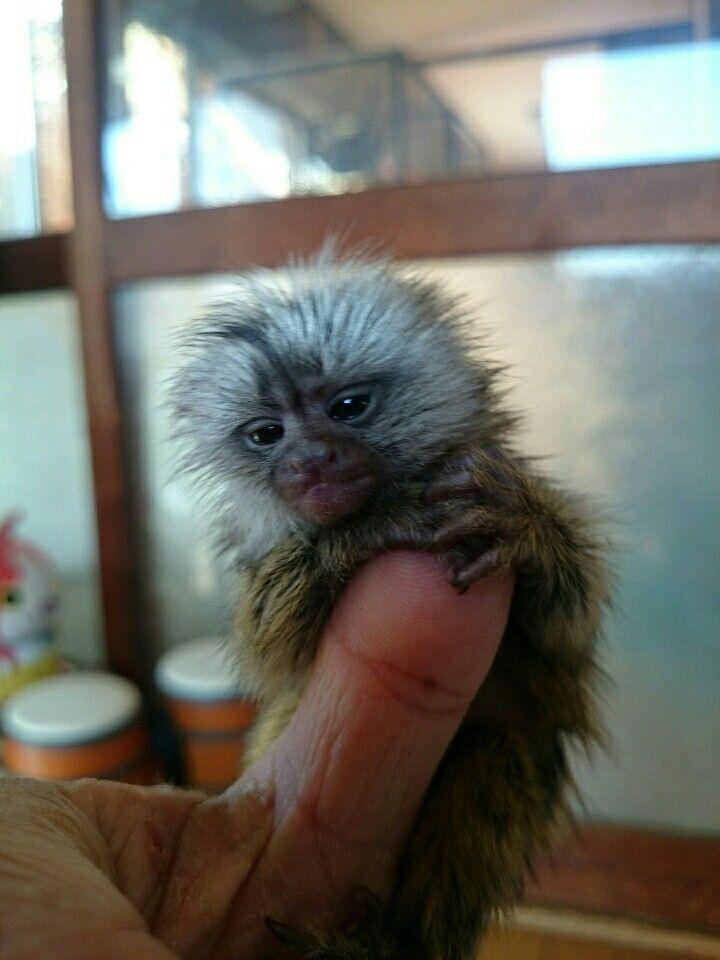 Pin By Trisha Thomas On Animals That I Love Cute Animals Cute Monkey Pets