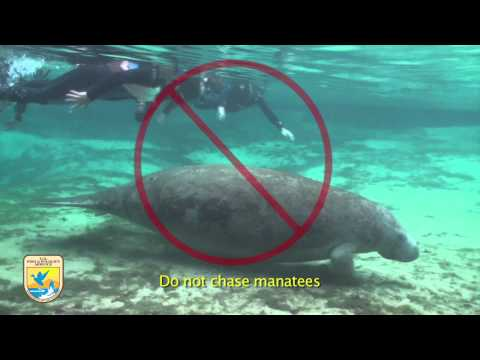 Crystal River Refuge S Manatee Manners For Swimmers Youtube Crystal River Manatee Florida Family Vacation