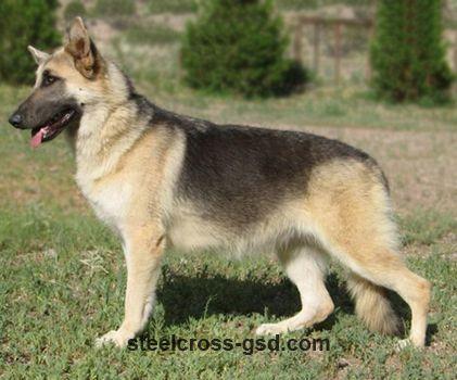 Blue And Cream Young Female German Shepherd Dogs Shepherd Dog