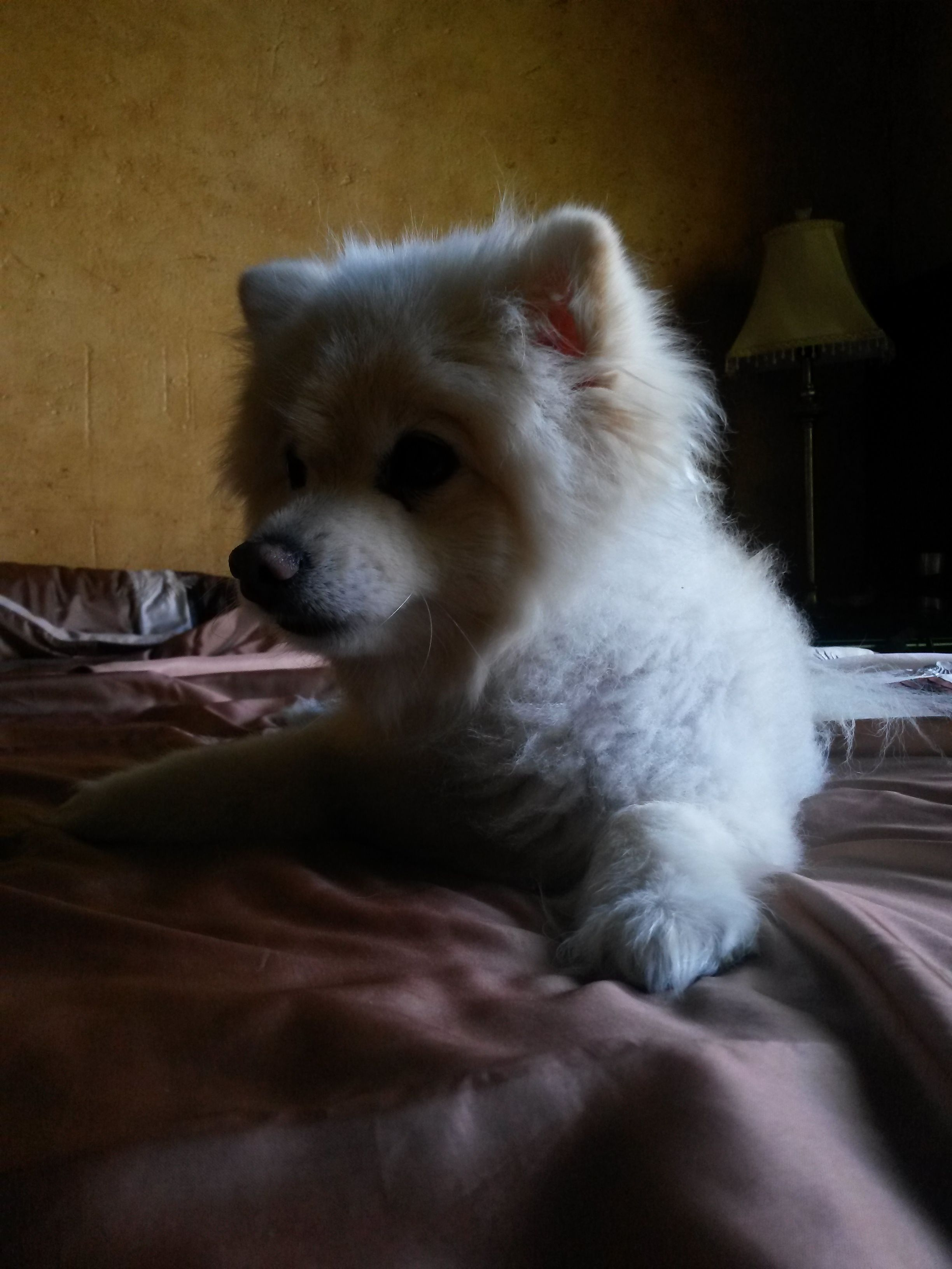 Roxy The Pomeranian Puppies Dogs Dogs And Puppies