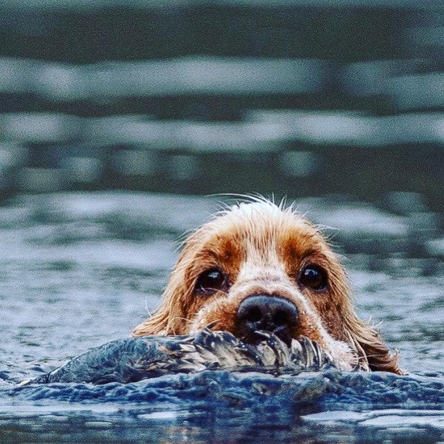 Happy Cocker Spaniel Loves To Swim And Hunt Dogs Cocker Spaniel Dog Spaniel Puppies