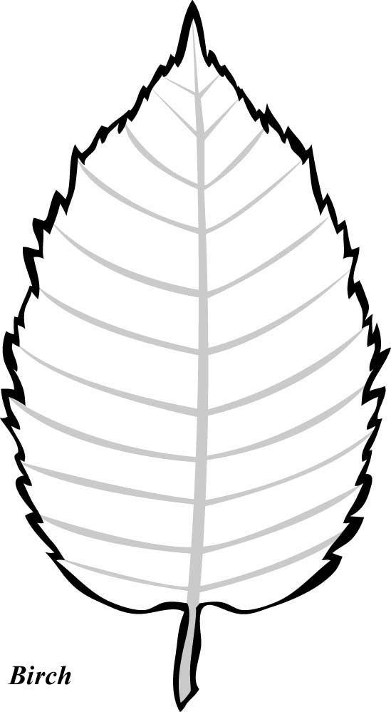 Birch Tree Leaf Template Wood Slices Leaf