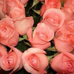 Astro Limbed Peach Roses Flowers Rose