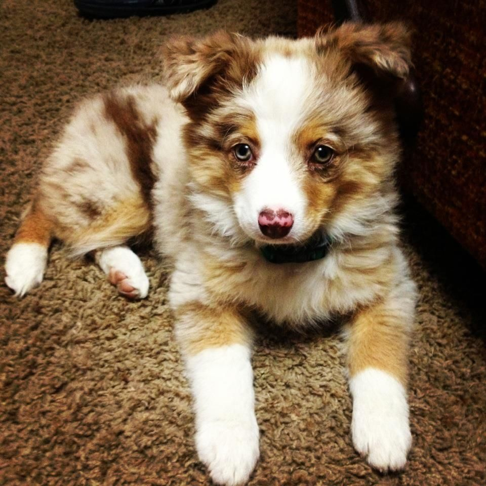 This Puppy Is So Perfect Australian Shepherd Puppies Australian Shepherd Miniature Australian Shepherd