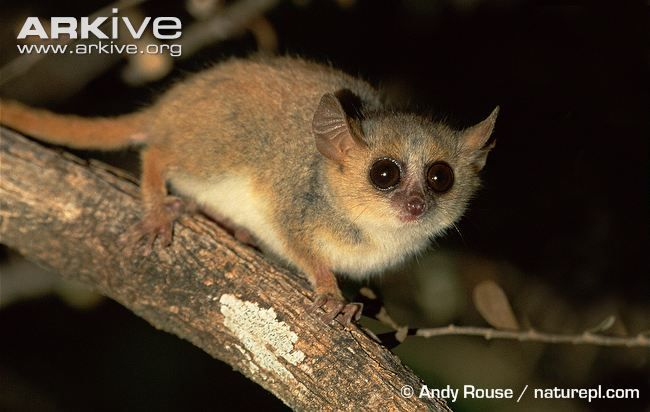 the grey mouse lemur microcebus murinus is among the smallest living primates