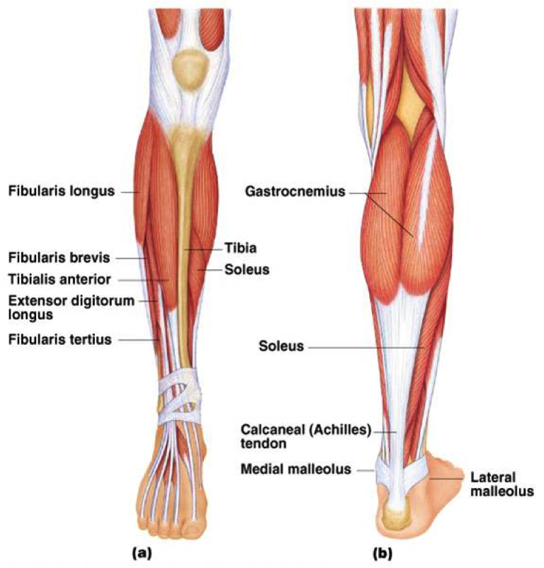 fibularis longus pain - 768×802