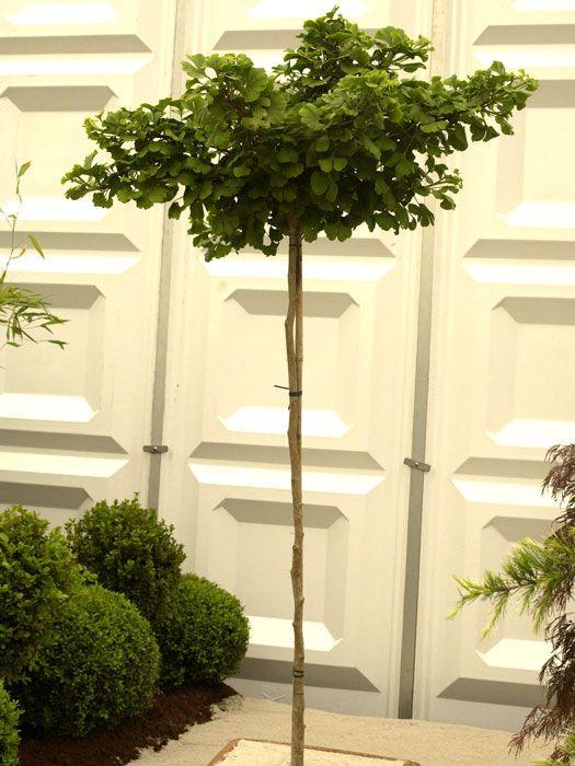 """Der Ginkgo (deutscher Name: Fächerblattbaum) ist die älteste lebende Gehölzeart auf unserer Erde. 250 Millionen Jahre hat sie schon überstanden.Er ist ein Nadelbaum dessen Nadeln zu Blättern geformt sind.    """"Mariken"""" ist eine..."""