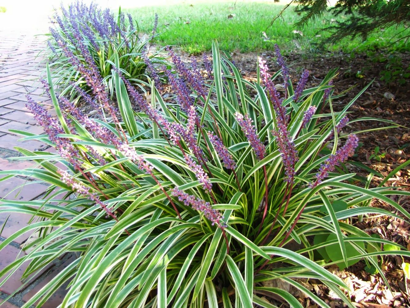 Perennial decorative grasses short perennial ornamental for Variegated ornamental grass