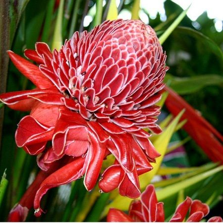 Rare Malay Rose Ginger Ginger Flower Torch Ginger Flower Rose Like Flowers