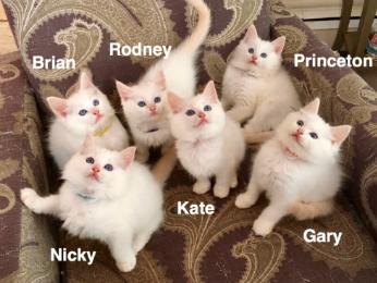 Ragdoll Kittens New York New Jersey Connecticut Pennsylvania Cat