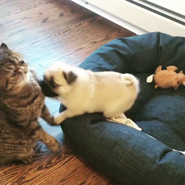 Cute Pug Puppy fighting with Cat