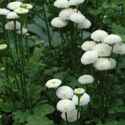 Feverfew Virgo Moon Garden White Gardens Perennial Garden