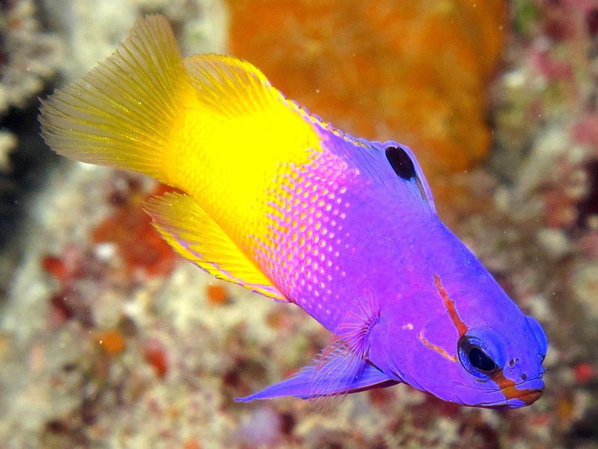 Fairy Basslet Gramma Loreto Belize Photo 1 Caribbean Reefs Undersea World Fish Pet Photo