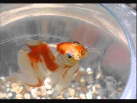 Mon poisson rouge chanson pour enfants th me eau 1h 2h for Eau pour poisson rouge