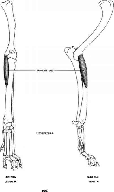 Cat Anatomy Pronator Teres   Wild Cats   Pinterest   Cat anatomy ...