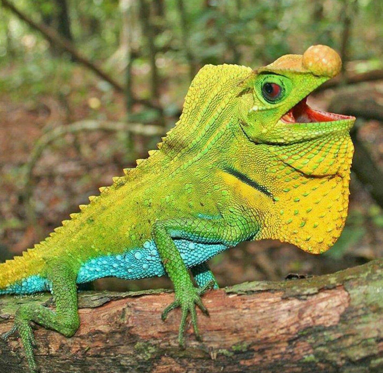 Cuban Night Anole Animals wild, Lizard, Lizard species