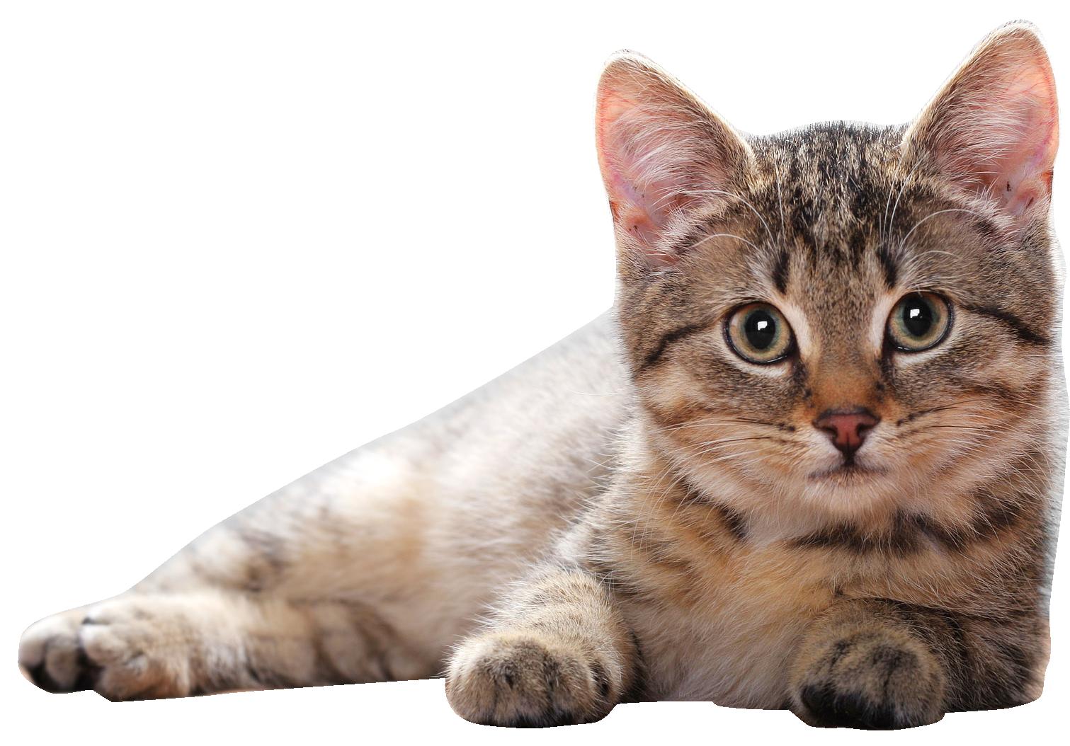 Cat Png Free Cat Png Transparent Images 24 Pngio In 2020 Cat Pics Cats Cat Wallpaper