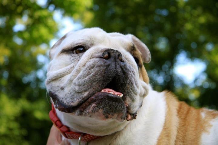 Chicago Illinois Usa Bulldog Rescue Bulldog Names Bulldog