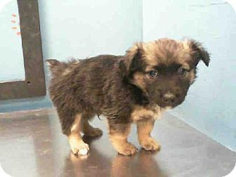Houston Tx Australian Shepherd Mix Meet Kumquat A Puppy For Adoption Kitten Adoption Puppy Adoption Australian Shepherd Mix