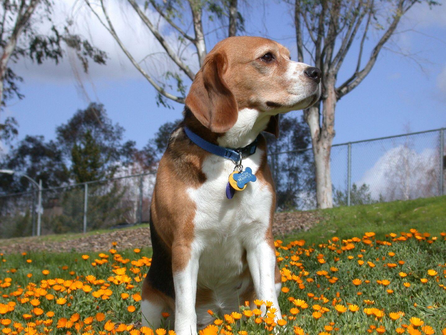 Beagle I Have A Weakness For Senior Dogs So Cute Beagle Dog