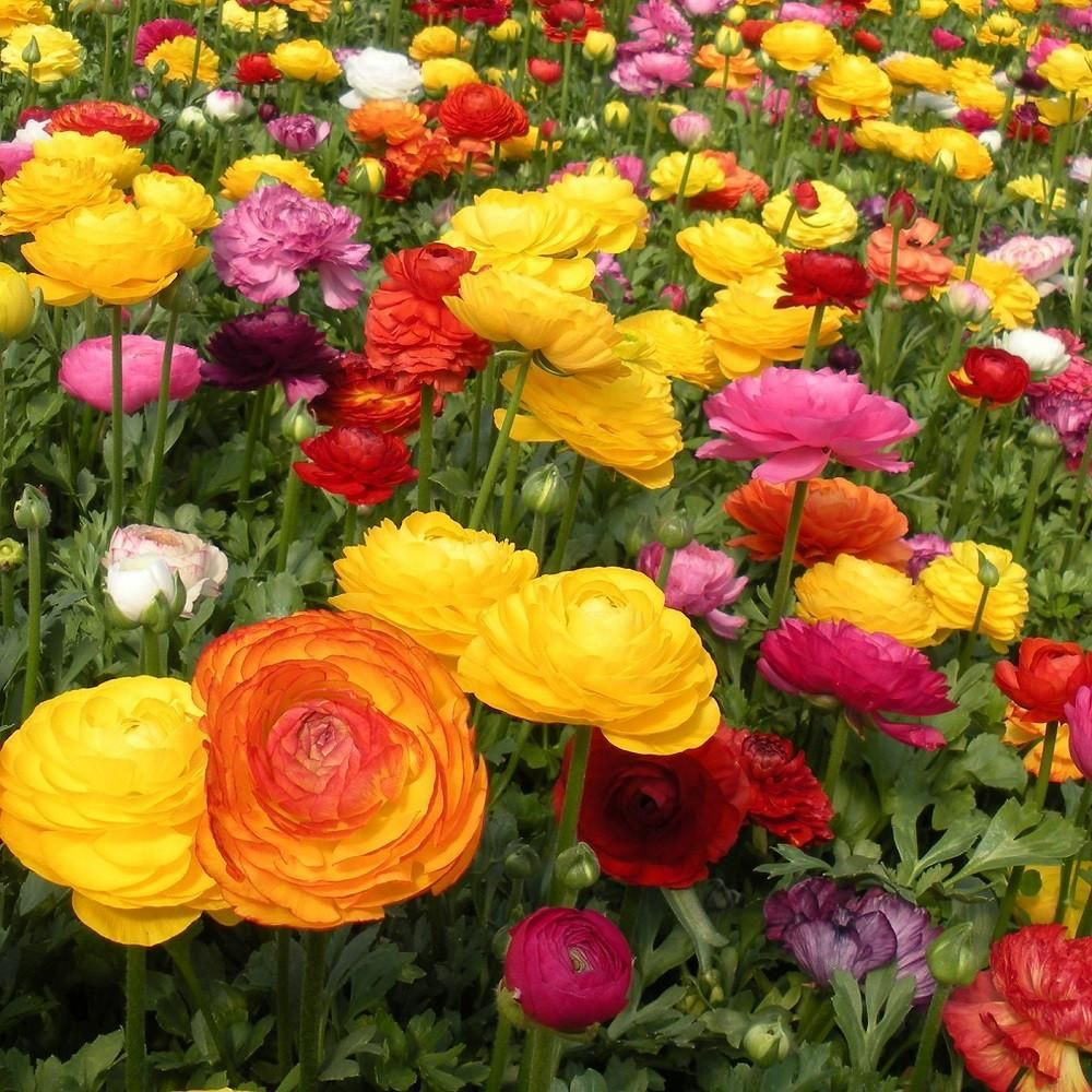 Ranunculus Tecolote Rainbow Mix Spring Plants Flowers Bulb Flowers