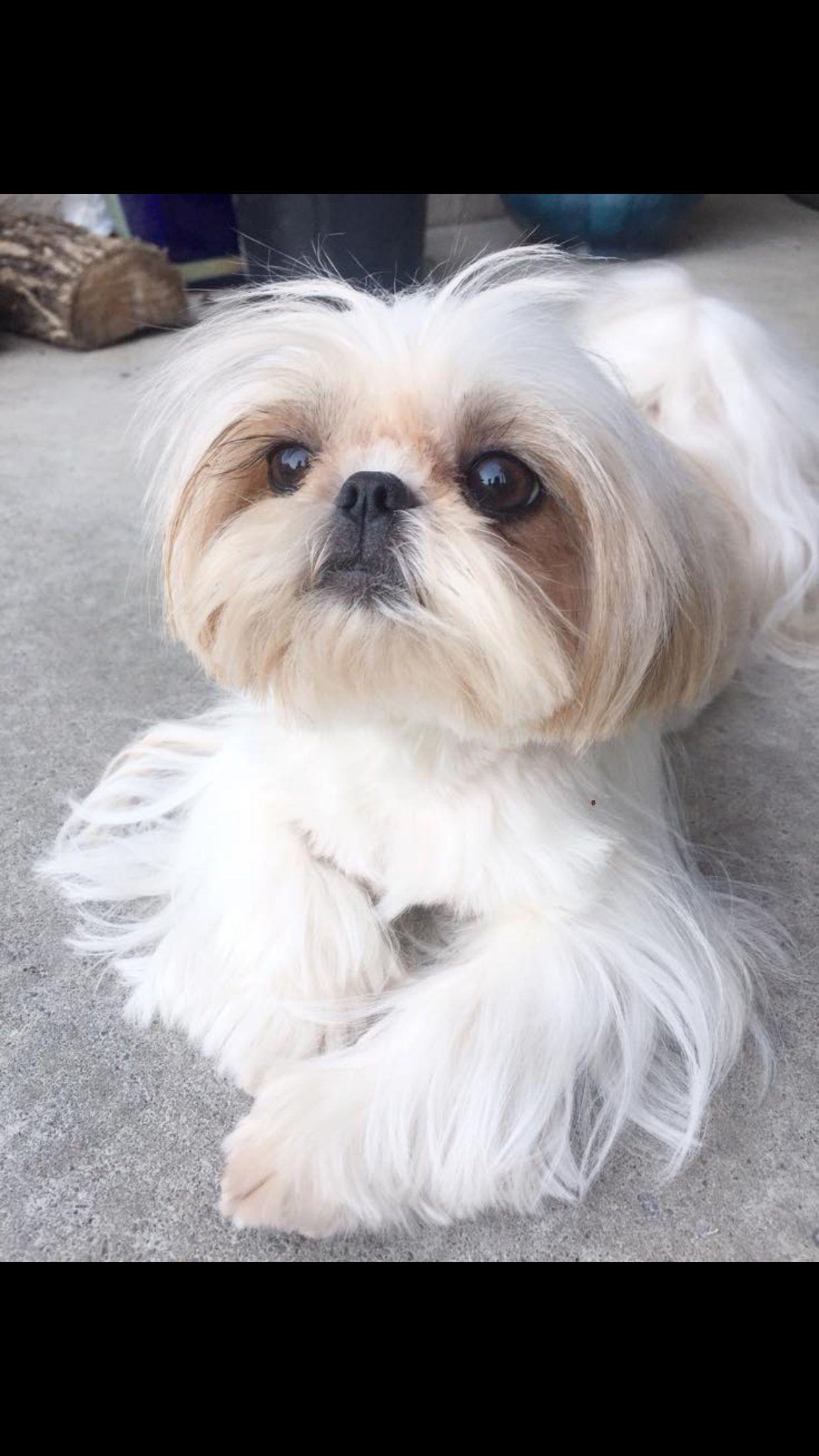 Maltese Majik Shih Tzu Cute Dogs Maltese Poodle