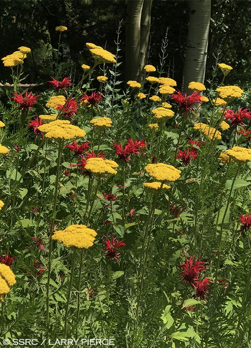 Flowers At Yampa Valley Botanic Park In Steamboat Springs Colorado