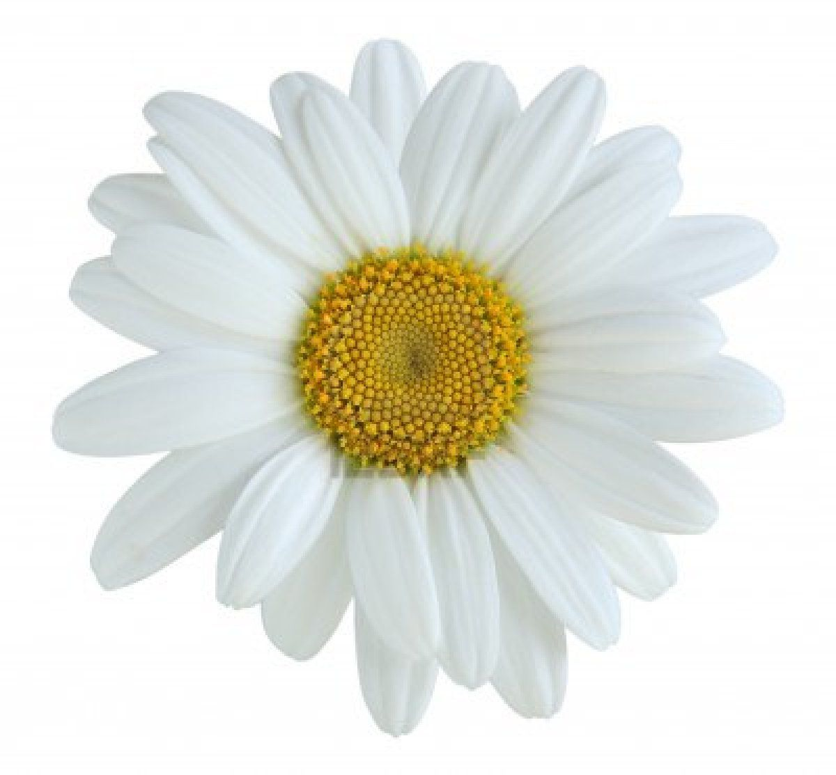 White daisy flower daisy flowers pictures daisy flowers history flower izmirmasajfo Gallery