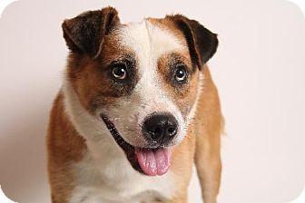Woodland Ca Australian Cattle Dog Mix Meet Dallas A Dog For