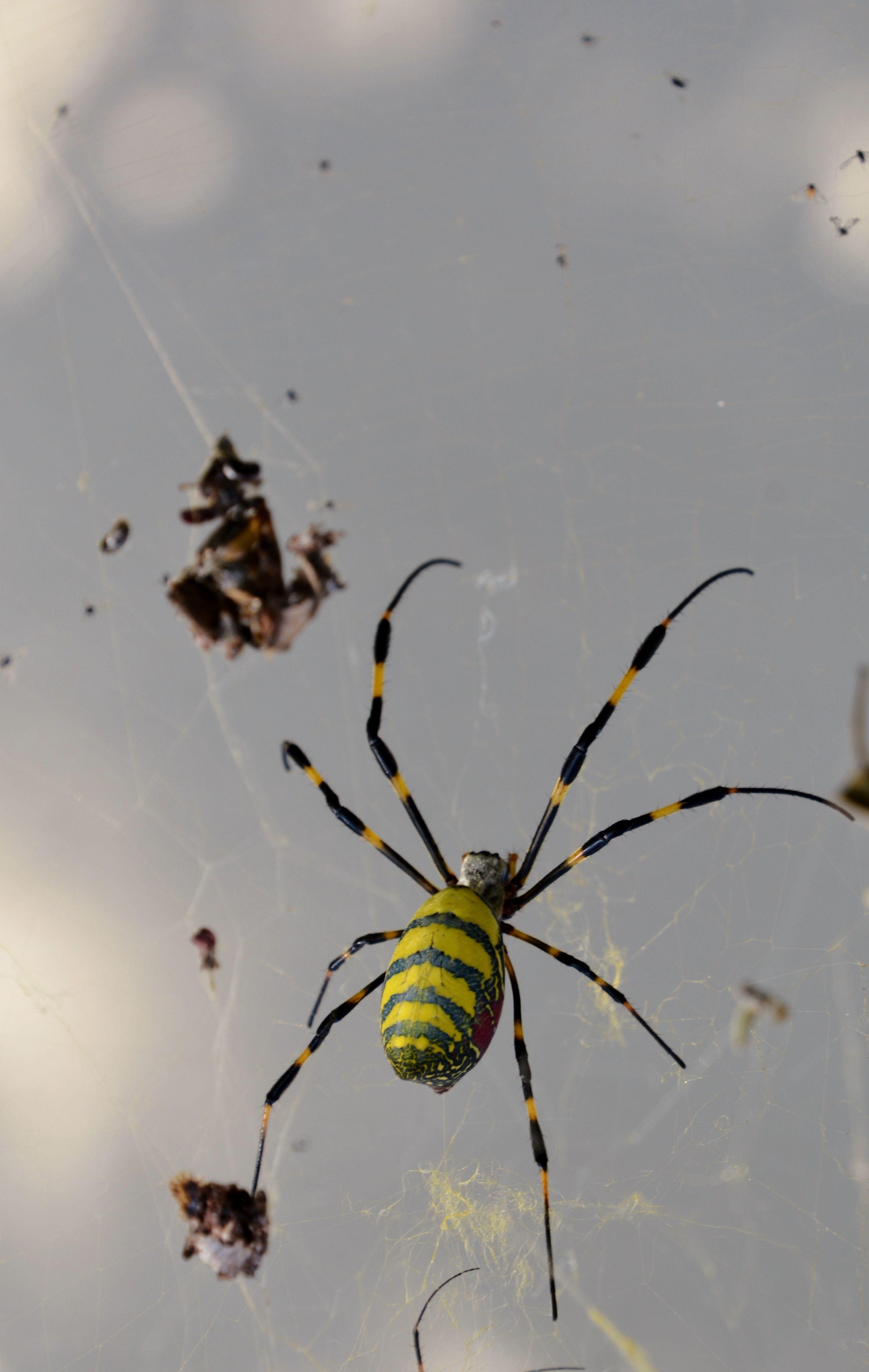ボード 女郎蜘蛛 のピン